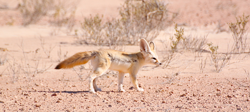 Sahara nature Dakhla - Légendes Evasions and Dakhla Rovers (Fennec fox)